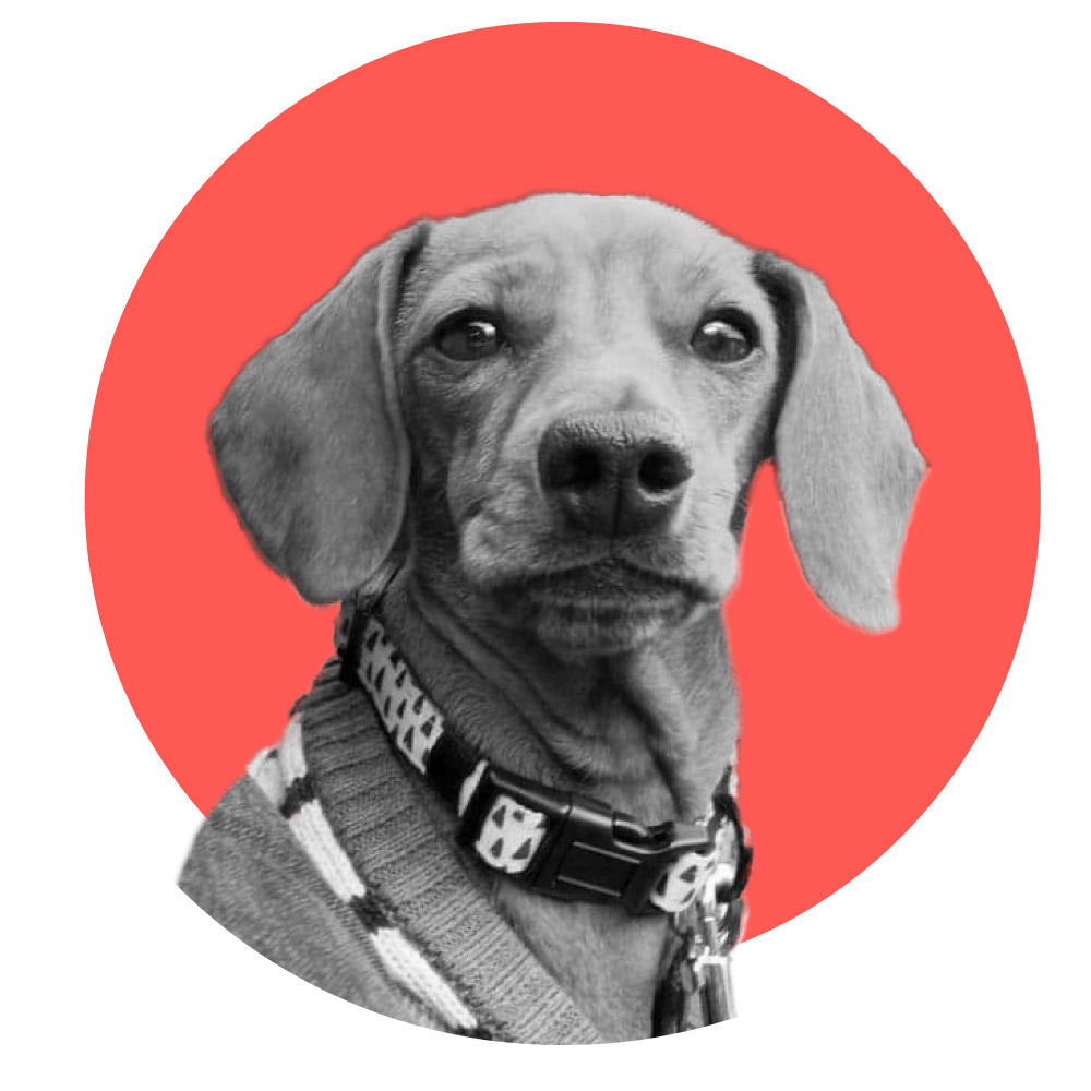 frigga the dachshund black and white on a red circle